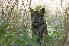 Sabyasachi_20080511_9079 (indiawilds) Tags: wild nature animal wildlife tiger endangered predator carnivore wildtiger wildindia indianwildlife pantheratigristigris royalbengaltiger umariamadhyapradeshindia indiawilds wwwindiawildscom
