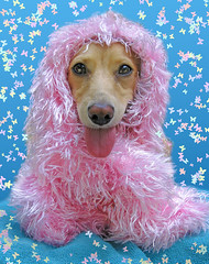 Diva in Pink (Doxieone) Tags: pink dog cute english tongue long cream dachshund boa honey final blonde haired 31 coll longhaired honeydog topfavorite englishcream halloweenfall2008set