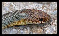 Dolichophis caspius  (Caspian Whipsnake)