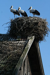 A Trio of Storks (romaniashots) Tags: building nest room romania trio storks romaniashots covasna