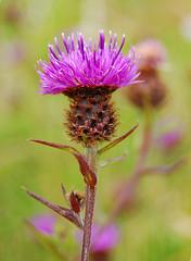 Maybe an expert will... (©Komatoes) Tags: park uk flower lens nikon purple kitlens devon exeter valley lit knapweed nigra ludwell centaurea centaureanigra d40 ludwellvalleypark