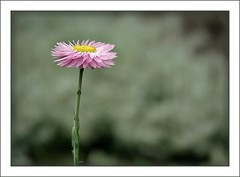 One (melolou) Tags: pink summer flower fleur one pastel simplicity minimalist lll immortelle friendlychallenges