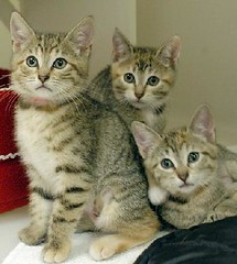Three Sister Kittens