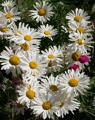 Marguerites - daisies