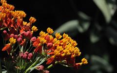 Butterfly Weed (russ pfeifle) Tags: milkweed nativeflower butterflyweed pearlandtx