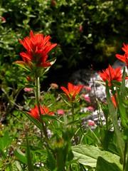 Indian Paintbrush  IMG_5182 (Starlisa) Tags: flowers mountains forest washington meadows august glorious alpine mtadams 2008 crookedcreek indianpaintbrush giffordpinchotnationalforest birdcreekmeadows aug31 starlisa aug312008 wildflowerspaintbrush