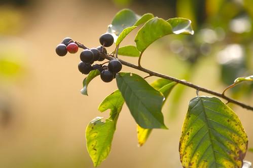 Vuilboom, sporkehout - Frangula alnus