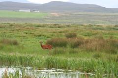 Deer, Loch Gruinart Nature Reserve III