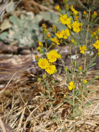 last of the tarweed