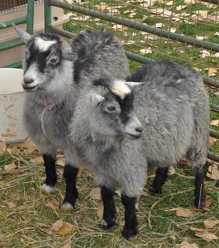 goat pair