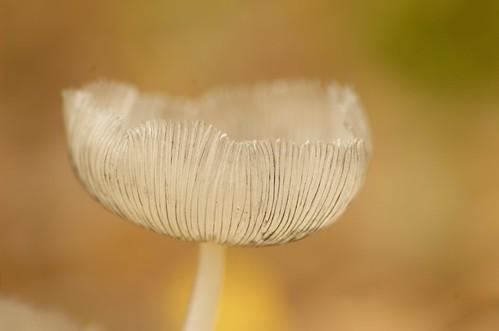 Coprinus lagopus - Hazenpootje, Wooly inky cap