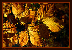 Feuilles d'or (B€rn@rd) Tags: p4 nikon nature macro france couleurs couleur coolpixp4 coolpix colors color écorce photos photo french forest foret foliage feuilles feuille feuillage europe ecorce branche autumn automne automn or gold goldstaraward goldenphotographer flickrdiamond impressedbeauty damniwishidtakenthat theunforgettablepictures anawesomeshot français presles valdoise aplusphoto colorphotoaward colourartaward bernardgaillot b€rnrd bernard gaillot mywinners