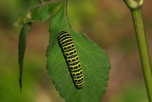 20081013022キアゲハ幼虫