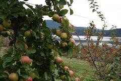 Westcott Bay Orchards - Cider Apples