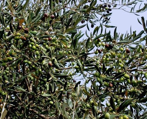 olive5bis