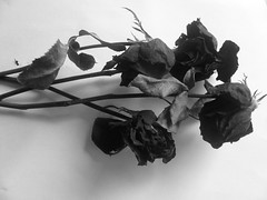 Black Roses (batanghapon) Tags: roses black green dead day emo romance chemical