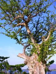 The same baobab (maurizio2) Tags: malawi viaggi