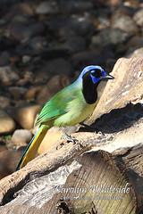 Green Jay on Log