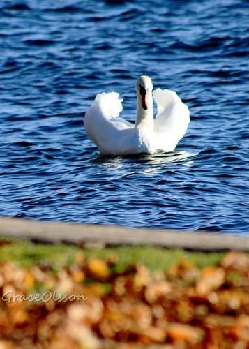 Swan...simply a swan...