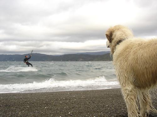 Ollie watching Matt kite surf in Wellington, New Zealand