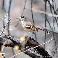 White-browed scrub-robin (LPJC) Tags: plateau namibia waterberg redbacked whitebrowed lpjc scrubrobin cercotrichasleucophrys