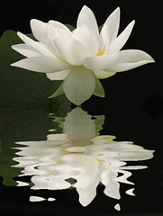Lotus Flower Reflections / nature / white / black / flower / - IMG_1724-refl - , , ,  , Fleur de Lotus, Lotosblume, , , (Bahman Farzad) Tags: white inspiration flower macro reflection nature fleur reflections de truth peace natural lotus calming peaceful teacher therapy elegant inspirational spiritual simple soulful heavenly soe tatto peacefulness devine whitelotus   lotusflower therapist lotusflowers lotuspetal  lotuspetals  lotosblume   soulfulflower lotusflowerpetals lotusflowerpetal
