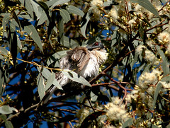 Bathies (Pink Thistle) Tags: bird redeye evileye australianbird friarbird noisyfriarbird philemoncorniculatus messybather