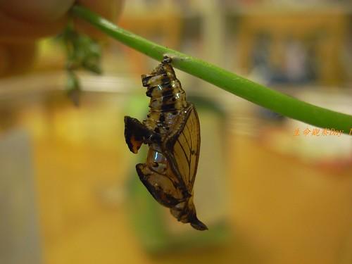 你拍攝的 蝶蛹2。