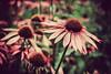 Earth loves in flowers (Manlio Castagna) Tags: flower texture scotland dof bokeh manlio castagna manliocastagna manliok