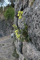 Calceolaria aff. trilobata (Calceolariaceae)
