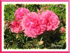 Portulaca grandiflora 'Sundial Peach'
