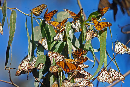 Why gardening to attract everything means less monarch butterflies in your garden