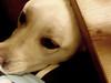 Lola (purelikegolddd) Tags: puppy eyes yellowlab lola cuteness