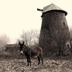 Az összes Don kihót-e? (.e.e.e.) Tags: county windmill animal hungary village donkey olympus zuiko donquijote 1445 zd bácskiskun e400 olympuse400 mywinners abigfave anawesomeshot szamár theperfectphotographer