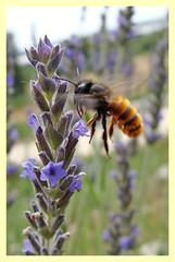 Osmia cornuta (PheCrew) Tags: flower fleur fly flor lavender bee volo ape vole blume abeja fiore lavande abeille biene vuelo lavanda lavendel phe fliegt soken imenottero sedeplacer