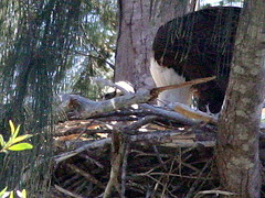Eaglet being fed2
