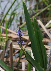 Alone (Stephen Gromelski / www.beardedart.com) Tags: flower nature canon eos wildflower 28135mm purble 450d wwwbeardedartcom