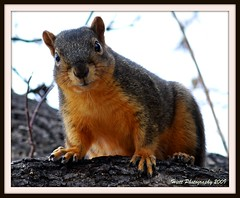 First Squirrel... (ragtops2000 (away for awhile)) Tags: tree nature colors beautiful spring nikon first stare curious picnik d300 naturesfinest 105vr aplusphoto firstsquirrel mygearandmepremium mygearandmebronze mygearandmesilver mygearandmegold