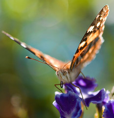 Bokeh Butterfly (aussiegall) Tags: autumn macro butterfly bug wings bokeh paintedlady duranta