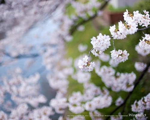 sakura2010_1280x1024_thumb_500