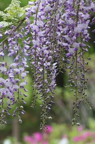 淡紫色の花 / The flower which shines with light purple