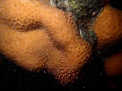 排放粉紅色精卵團的角菊珊瑚(海管處提供)