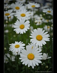 Oxeye Daisy, early in the morning (JSB PHOTOGRAPHS) Tags: flower oregon nikon d2x daisy nikkor oxeye 18105mm