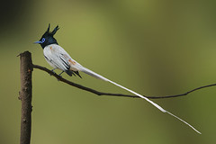 The Asian Paradise-flycatcher (Terpsiphone paradisi) (sharadagrawal931978) Tags: india bird nature birds june canon eos wildlife sigma os apo rajasthan udaipur dg critique sharad agrawal 2011 terpsiphone hsm paradisi monarchidae 40d f563 150500mm