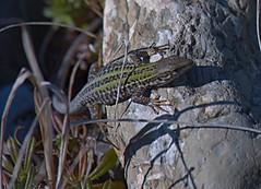 Lucertola (oniremacoo) Tags: reptile lucertola rettile