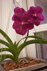 Vanda (Mahakkaphongs x Dr. Anek FCC/AOS 4n) (dwittkower) Tags: orchid flower flora orchids orchidaceae vanda orquideas orchidée orqudea