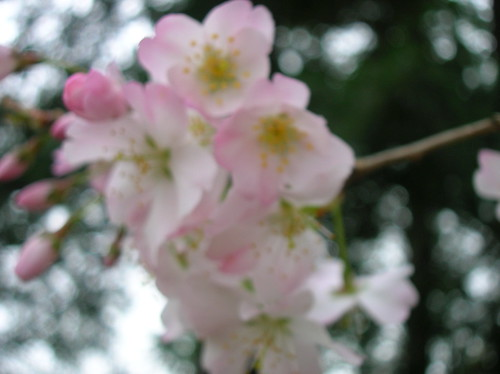 profoundly blurry cherry blossoms