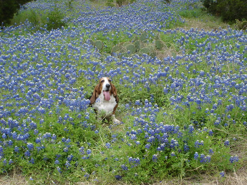 Lucy in the bluebonnets