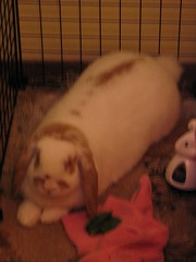 IMG_1191 (joandirk) Tags: rabbit cadbury lop hollandlop