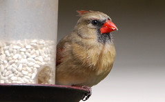 Bird - Northern Cardinal - female (blmiers2) Tags: red newyork bird nature birds lady geotagged nikon cardinal wildlife birdfeeder ave views faves northern avian cardinaliscardinalis northerncardinal passeriformes backyardbirds cardinalidae birdphoto northerncardinalfemale ttcu nikond40x d40x cardinalphoto blm18 blmiers2